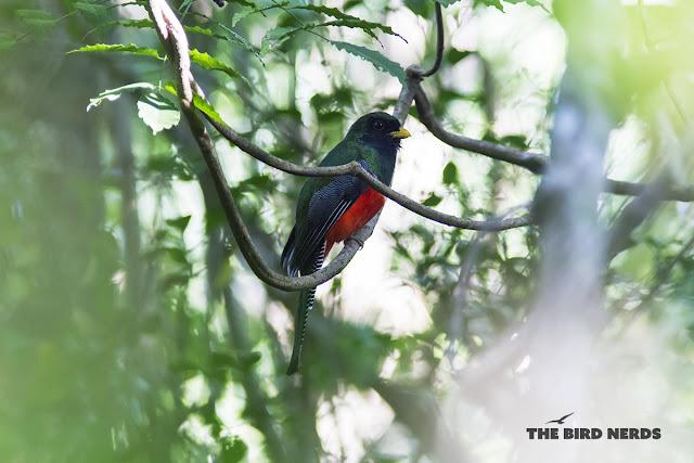 Rare Collared Trogon bird photo in Mexico