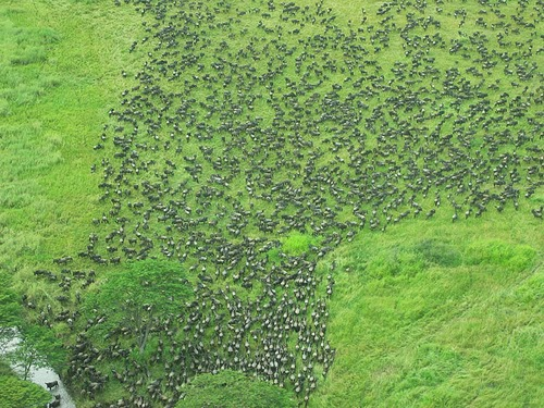 gran migracion serengeti