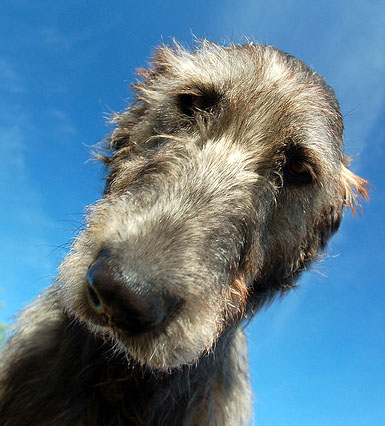 norwegian elkhound 20 irish wolfhound 20