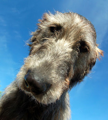 Irish Wolfhound by Sightsound