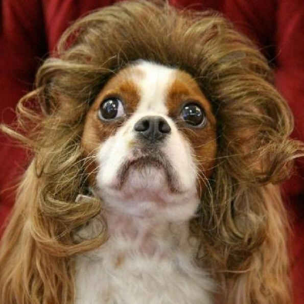 Funny Dog Toupee Funny Pictures Of Dogs