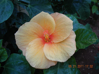 structured petals of the orange hibiscus