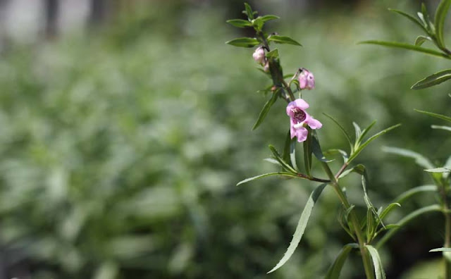 Angelonia Flowers Pictures