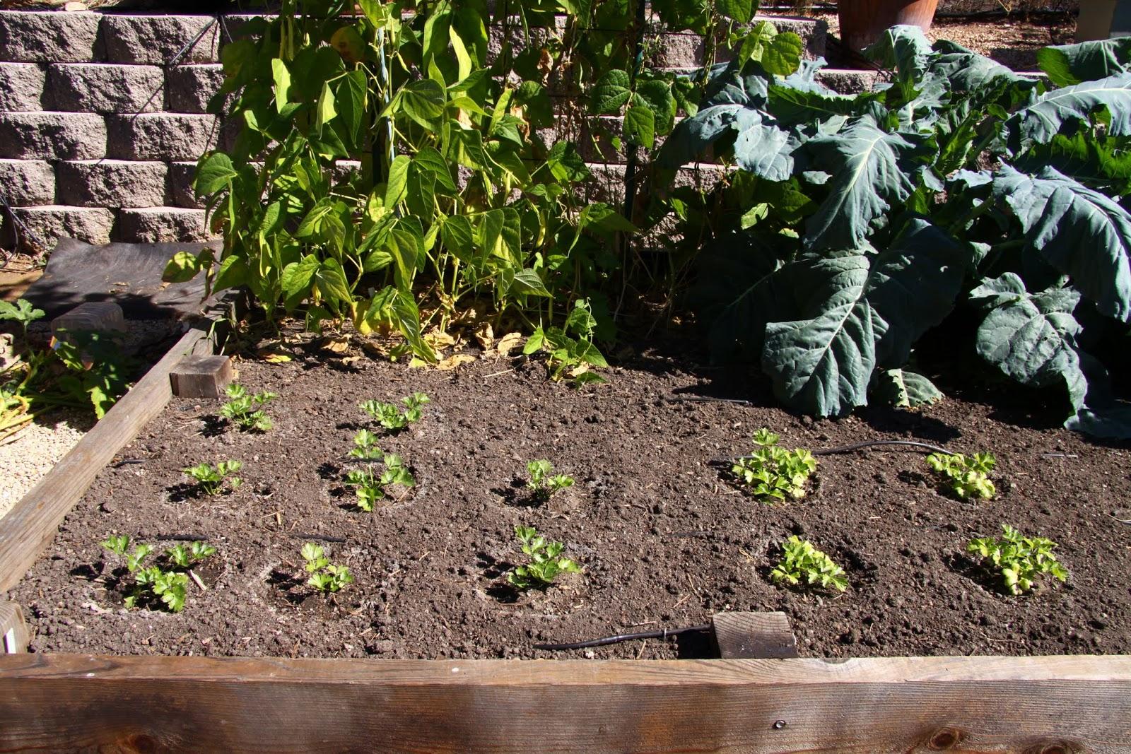 how to grow celeriac from seed