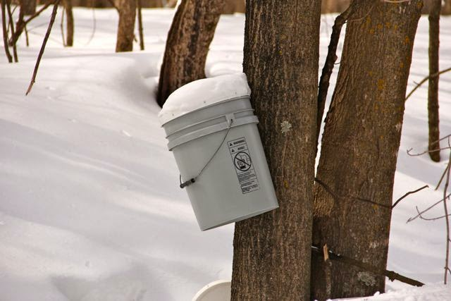collecting sap for syrup