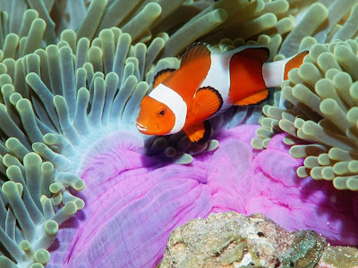 Clownfish coral reef fish wallpaper