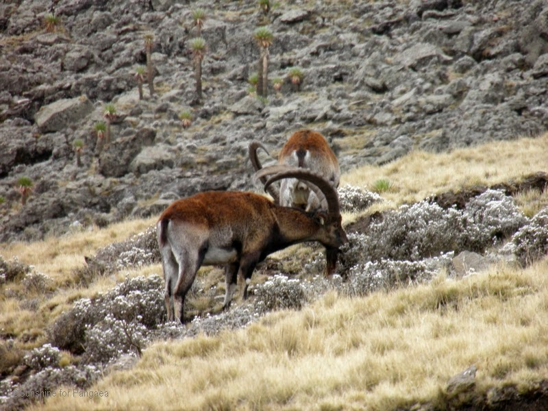 Simien Mountains National Park Walia Ibex