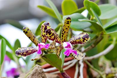 Cattleya aclandiae Flower