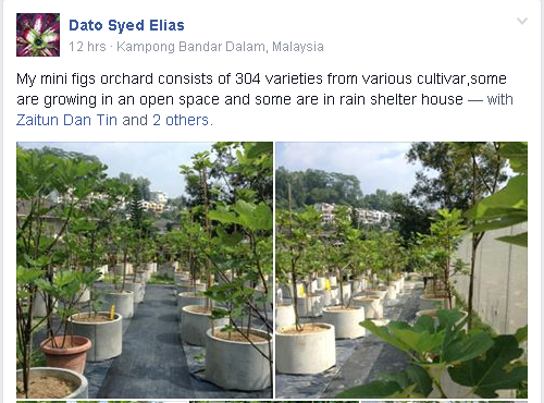 Orchard Fig - Dato Syed Illias