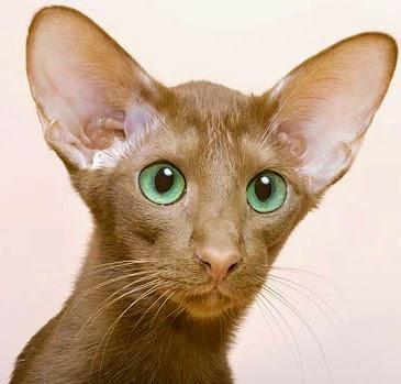 Кошки ориентальной породы. Особенности ухода