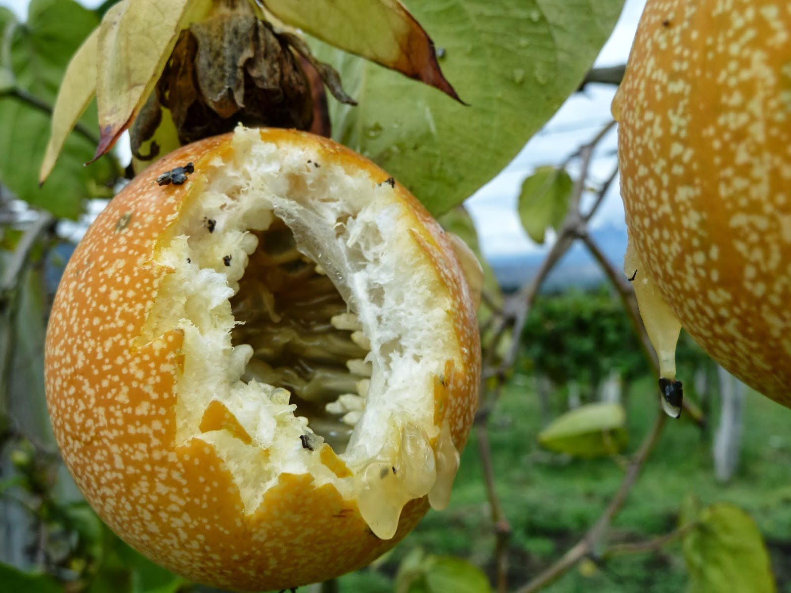 how to eat passion fruit harvesting the fruit