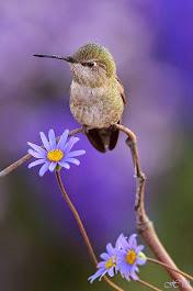 Um canto lilás