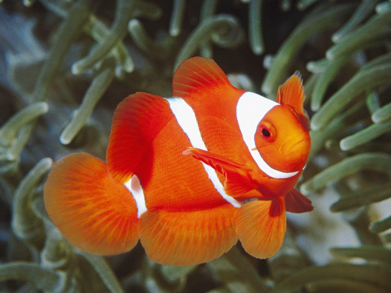 http://2.bp.blogspot.com/-I0kn3tUHMAY/Tf7vfMyfqrI/AAAAAAAAB94/NrwTeM1HWAc/s1600/clown-fish.jpg