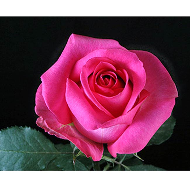 pink rose in - photo #16