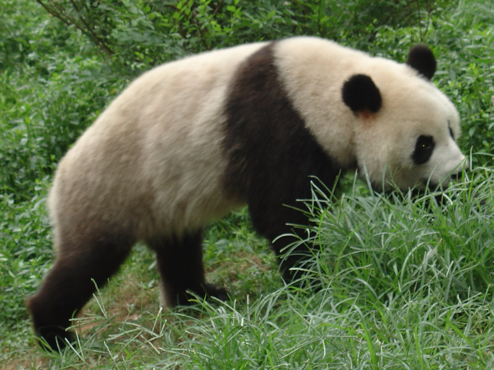 Endangered species panda essay