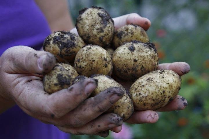 Kartoffelernte. Foto: Gernot Katzlberger