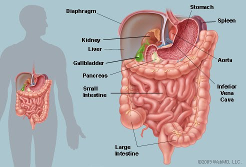 Liver Gall Bladder And Pancreas Histology And Virtual