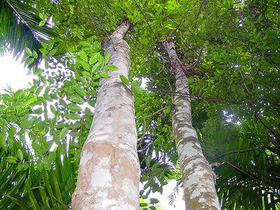 Pokok Gaharu Hutan Gaharu Termasuk Hasil Hutan