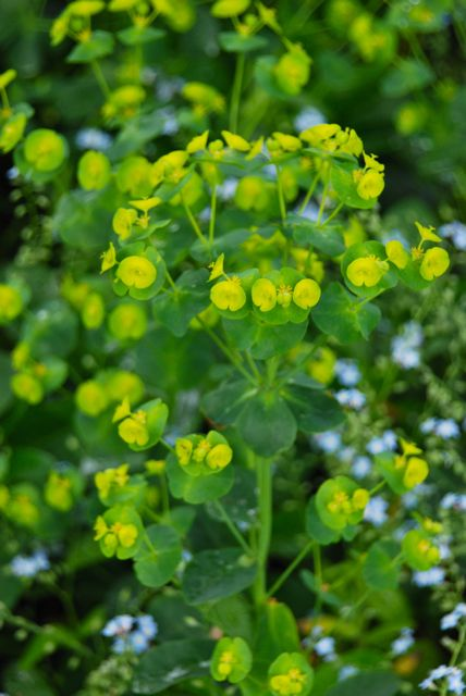 Euphorbia amygdaloides robbiae in the Front Woodland, also known as Wood Spurge or 'Mrs. Robb's Bonnet'