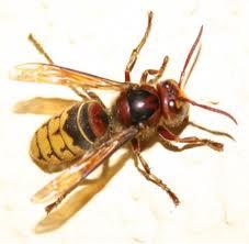 اعداء النحل