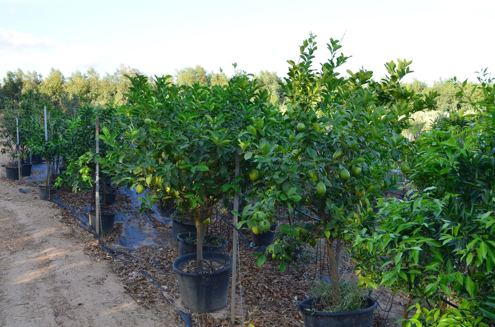 piante di agrumi agrumi in vaso albero di chinotto