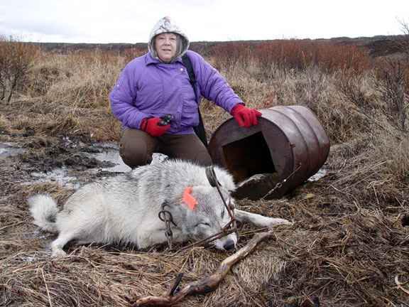 ловля рыси на капкан