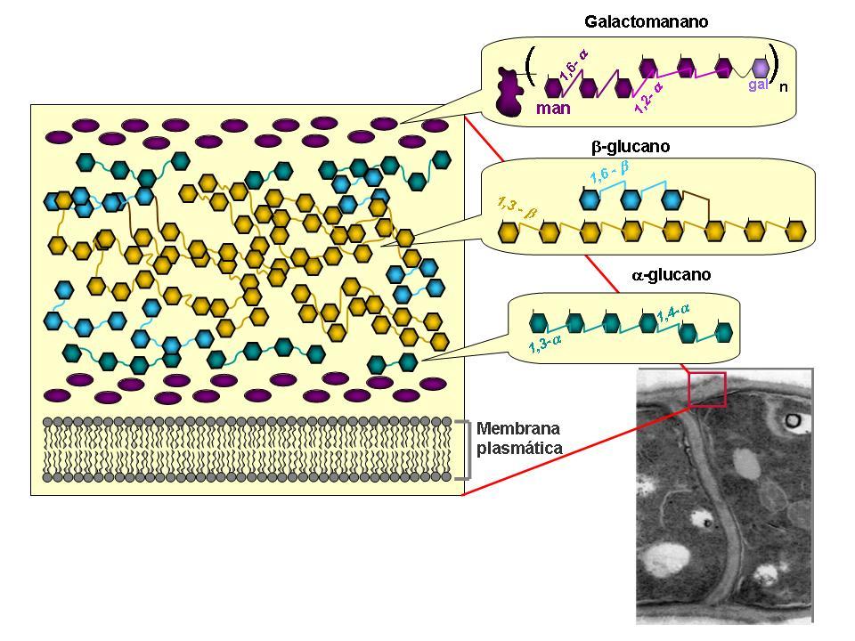 Caja de ciencia az car de levadura contra el c ncer - Tipos de hongos en la pared ...