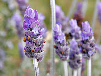 Lavender Young Living Tracey Cole