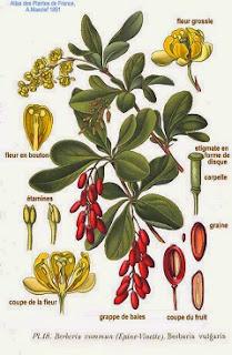 plantas medicinales y aromáticas del bosque mediterráneo