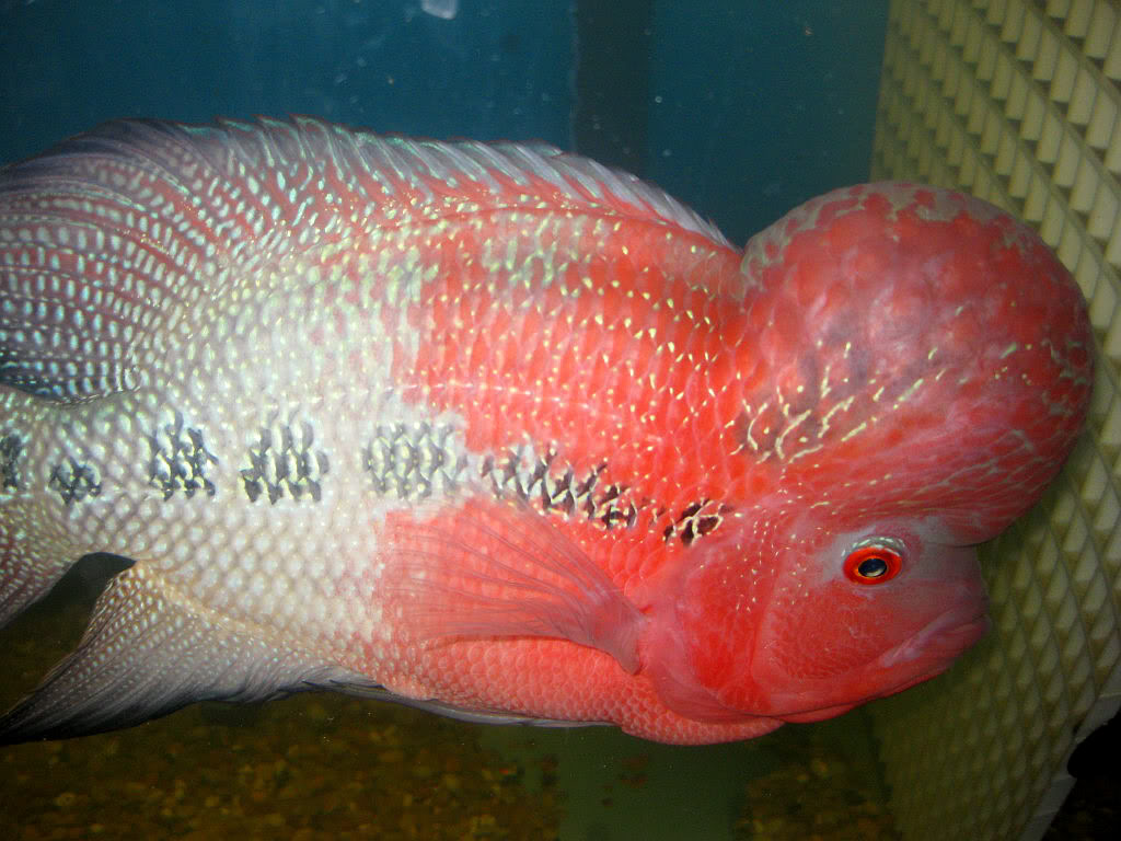 Flowerhorn The Hybrid Cichlids: Red Dragon aka Hell Boy