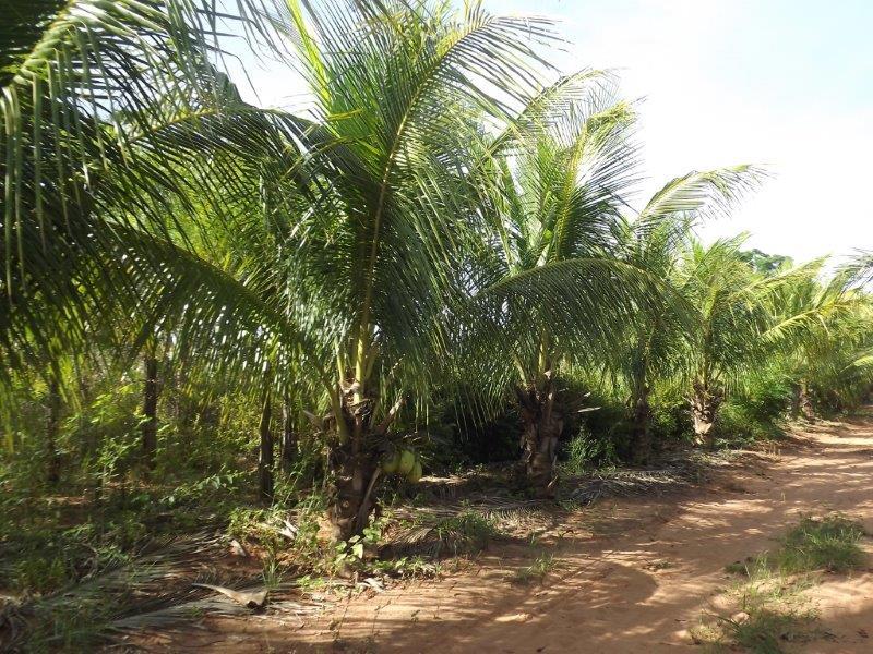 Coqueiro Anão  Vendas de Coco Anão Plantio do Coqueiro Anão