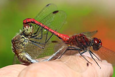 Tierfotos - Libellen - Blutrote Heidelibelle - Paarung