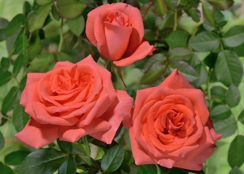 Beauty Star rose сорт розы фото