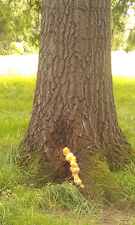 Oak Tree with Fungal Brackets.  Not sure at this stage if it is Sulphur Polypore