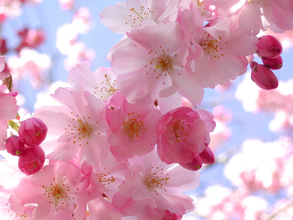 Cherry Blossom Pink Flowers