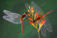 Dragon Fly Photos and Pictures 20