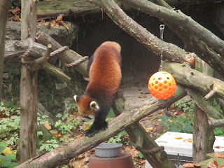red panda, Philadelphia zoo