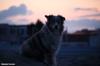 Photo of an Australian Shepherd