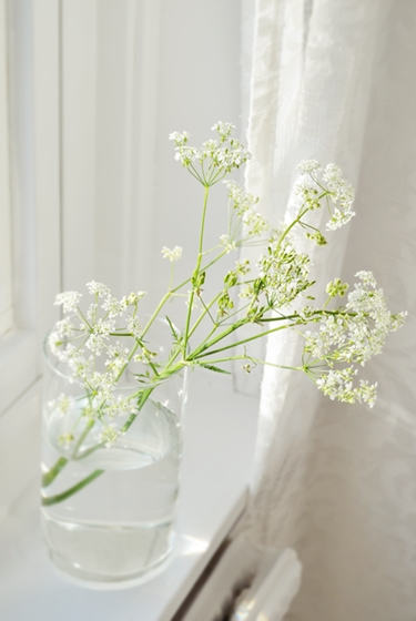 hundkex, hur man får hundkex att hålla, queen anne's lace, how to make queen anne's lace last longer