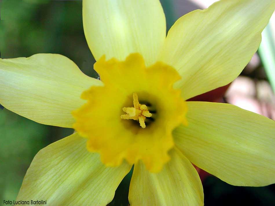 Bem vindos flores que se destacam na primavera for Narciso giallo