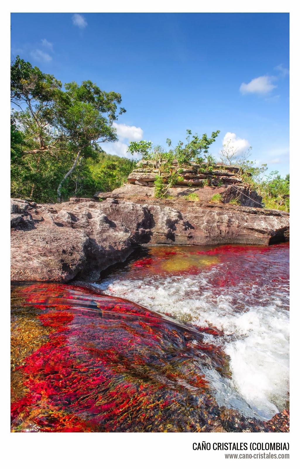Planta que le da el colorido a Caño Cristales, Macarenia clavigera