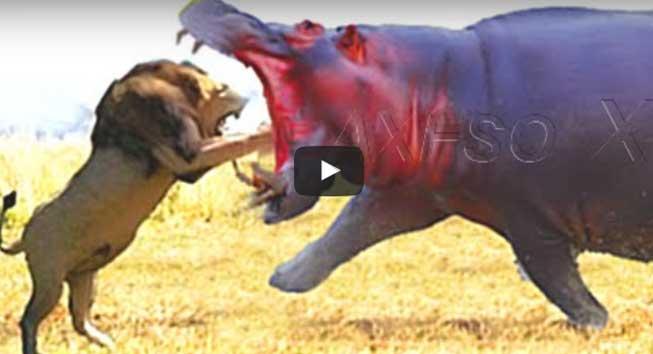 Animal Fight Lion vs Hippo vs Lion Real Fight ~ BESTSMILER