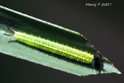 Caterpillar of Common Palm Fly Butterfly