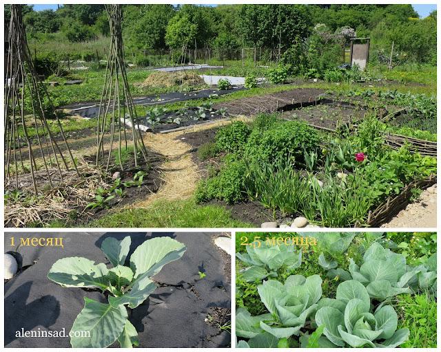 посадка рассады, рассада капусты, посадка, на черный спанбонд, лутрасил, агропленку, агроволокно, черную мульчу, нетканный материал, агрил, агротекс,агроспан, черную пленку, белокочанная капуста, целина, борьба с сорняками, аленин сад