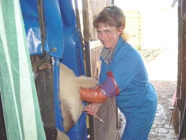 odd jobs: cow inseminator