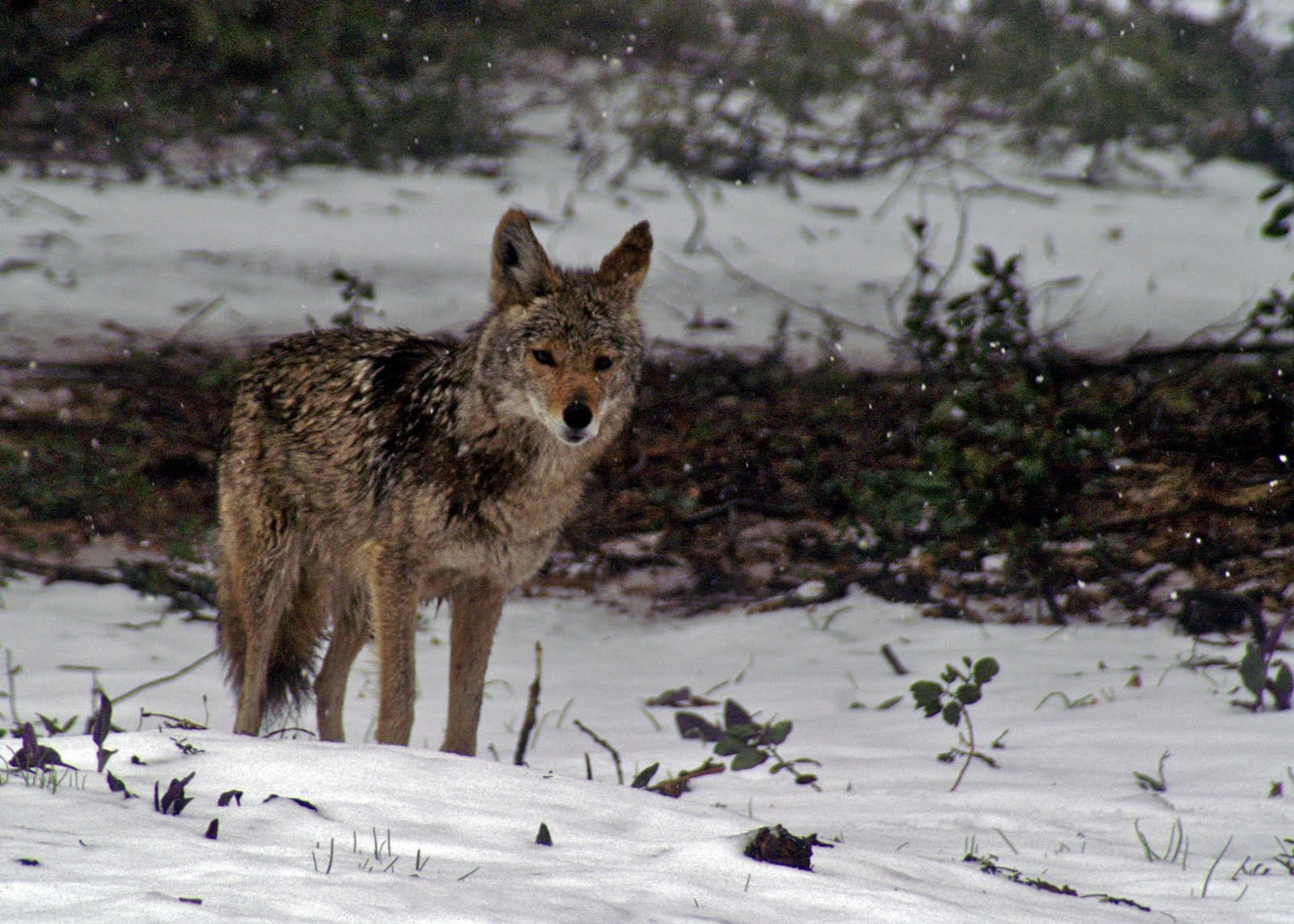 baby coyotes picture - HD1600×1143