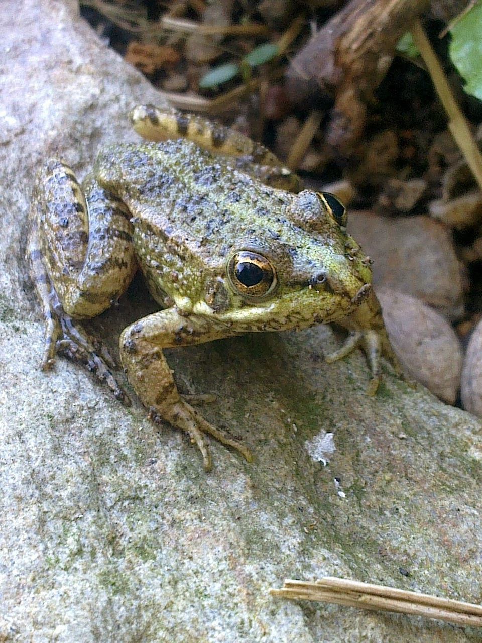 What do frogs do in winter 8