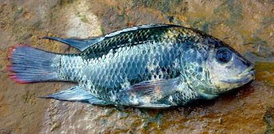 Tips Jitu Teknik Memancing,mpan mancing ikan nila merah, resep,di danau toba,kolam,liar,malam hari,