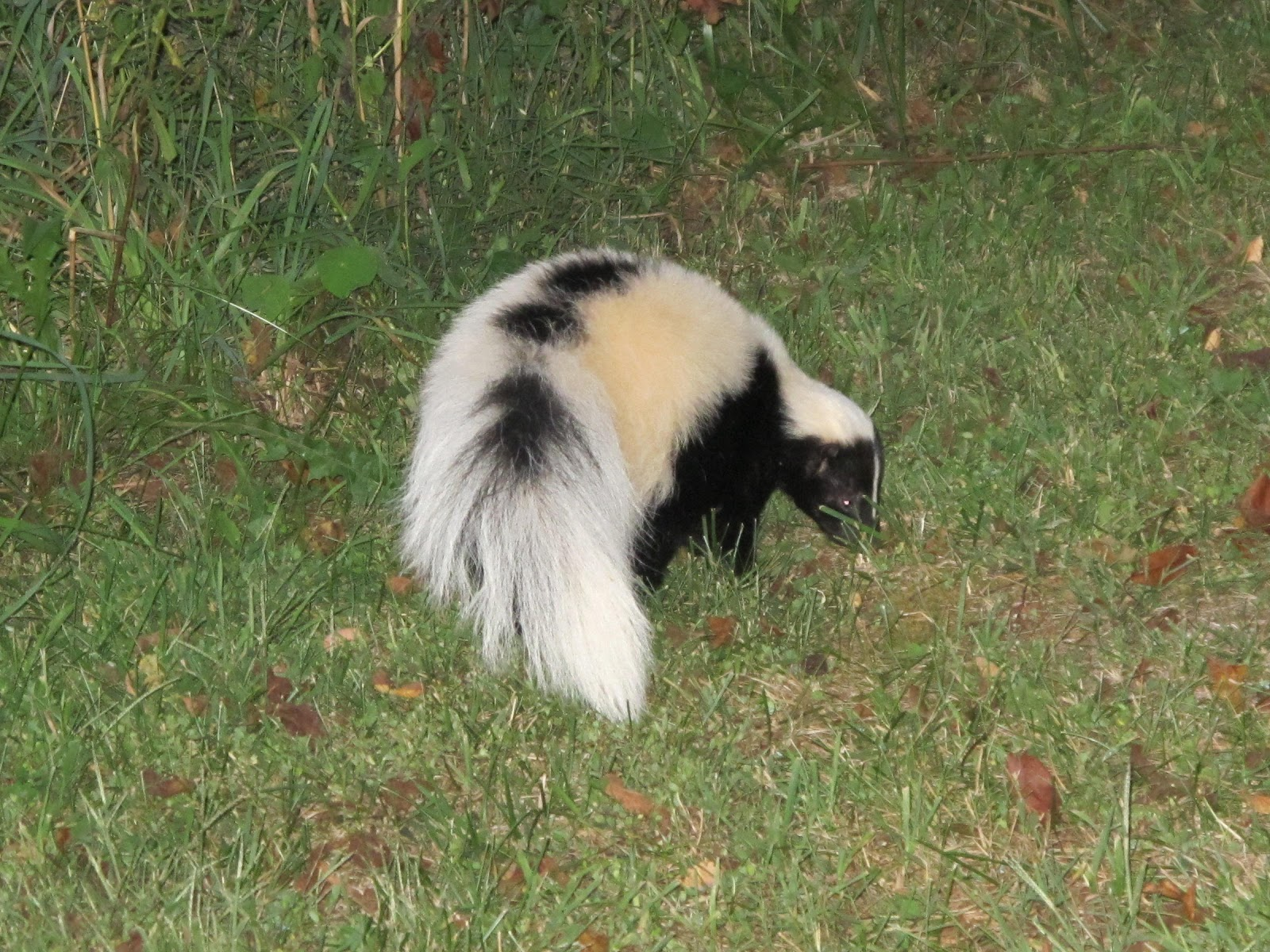 how to kill a skunk in ontario