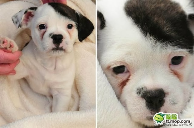 adorable dog pictures, puppy with hitler mustache and hair